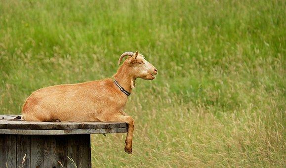 Goat, Animal, Creature, Lying, Animal Enclosures