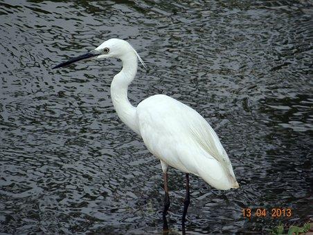 Little Egret, Bird, Sadhankeri, Dharwad, Karnataka