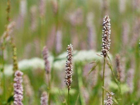 Meadow, Snakes Knotweed, Bistorta Officinalis