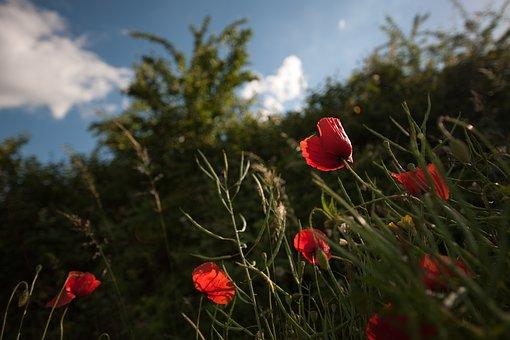 Klatschmohn, Flower, Calyx, Red, Blossom, Bloom, Bud