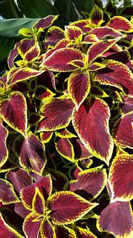 Coleus, Plant, Red And Yellow Leaves, Leaf, Bright