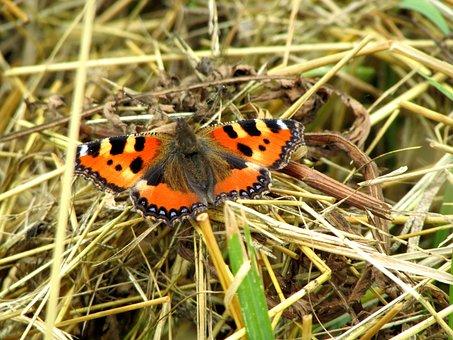 Little Fox, Butterfly, Butterflies, Insect, Animals