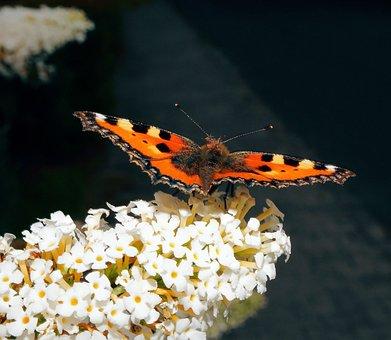 Butterfly, Little Fox, Color, Butterflies, Edelfalter