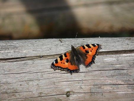 Butterfly, Little Fox, Animal, Insect, Butterflies