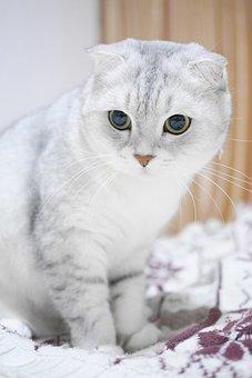 Scottish Fold Cats, Gradient Color, Cat, Animal, Pets