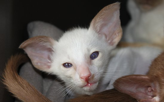 Cat, Kitten, Siamese Cat, Siam, Fur, Charming, Animal