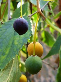 Hackberry, Maturation, Concept, Lledo, Lledoner, Fruit