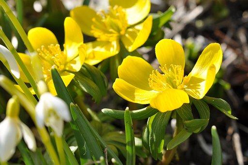 Potentilla, Kobold, Flower, Plant, Flowers