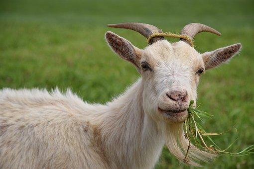 Goat, Animal, Livestock, Eating, Grass, Pasture