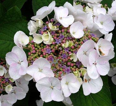 Blossom, Bloom, Hydrangea, Hummel, Close, White, Blue