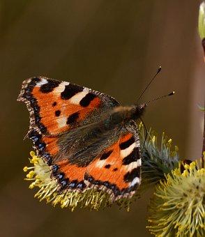 Little Fox, Animals, Butterfly, Butterflies, Nectar