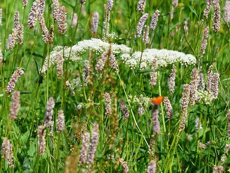 Wet Meadow, Meadow, Snakes Knotweed