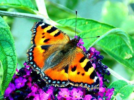 Butterfly, Little Fox, Butterflies, Insect, Nature