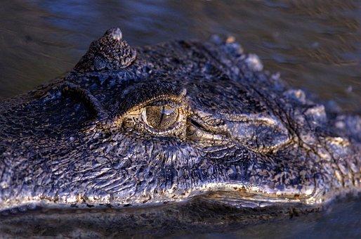 Orinoco Crocodile, Eye, Reptile, Venezuela, Crocodilian