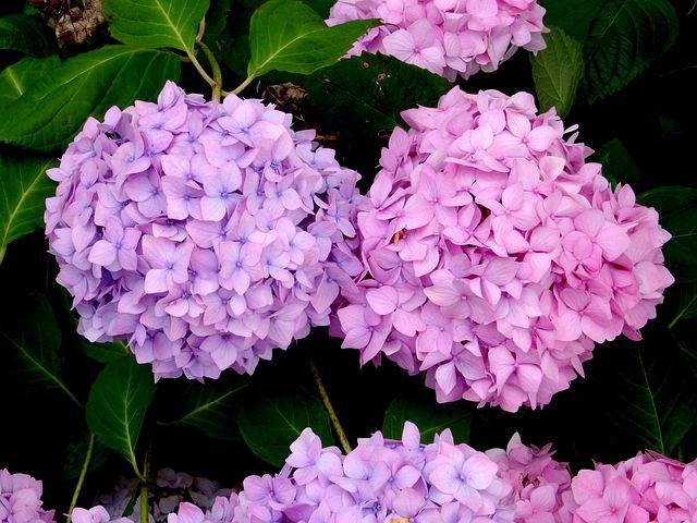 Blossom, Bloom, Two, Hydrangea, Close, Blue, Pink