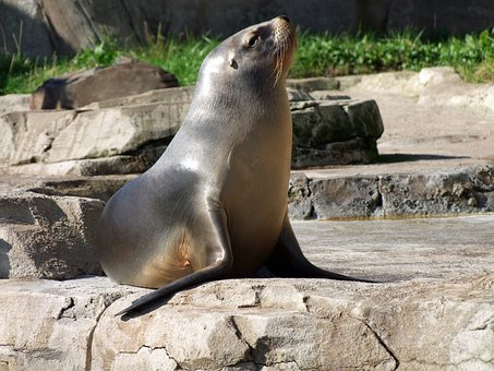 Robbe, Sea Lion Otarriinae, Animal