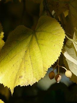Lime Leaf, Linde, Light, Shadow, Sommerlindenbatt, Lime