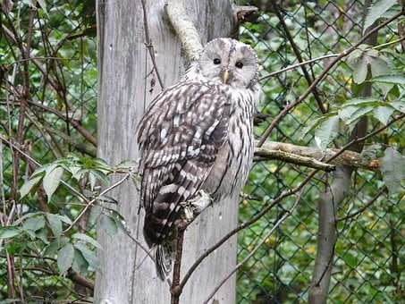 Ural Owl, Owl, Strix Ancient, Strix, Family Strigidae