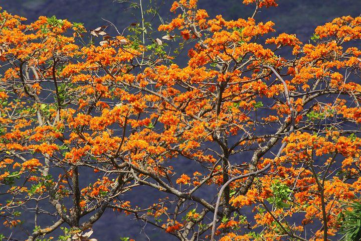 Tree Araguaney, Tree, Orange, Venezuela