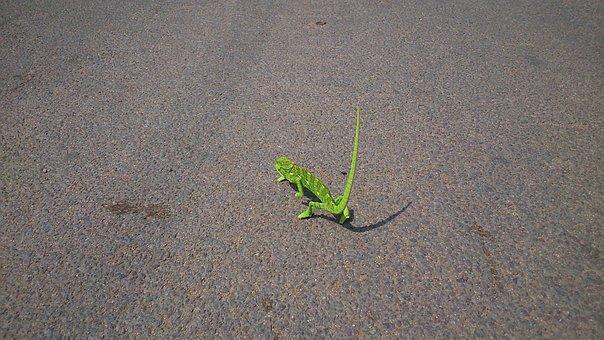 Chameleon, Reptile, Lizard, Green, Lone, Walking, Slow