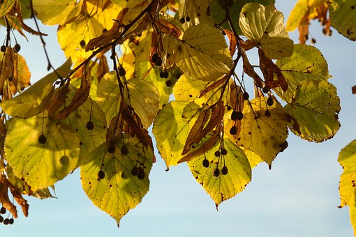 Leaves, Fall Color, Yellow, Yellow Green, Green, Seeds