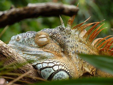 Iguana, Lazy, Reptile, Zoo, Rest, Easily, Lizard