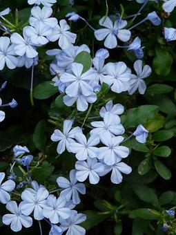 Auriculata, Flowers, Flower, Light Blue, Cape Europaea