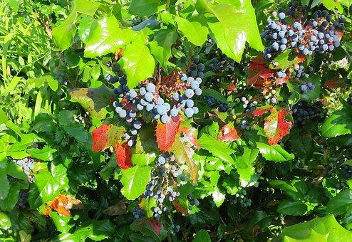 Mahone, Bush, Berries, Periwinkle, Plant, Green