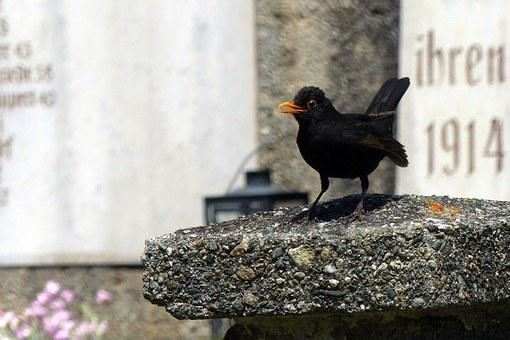 Blackbird, Turdus Merula, True, Bird, Black, Throttle