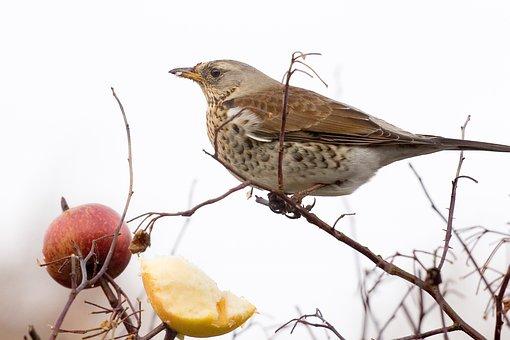 Sparrow, Bird, Fieldfare, Turdus Pilaris, Thrush