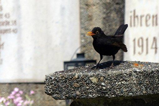 Blackbird, Turdus Merula, True, Bird, Black, Throttle
