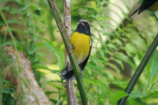 Bird Sugar, Yellow, Black, Tropical, Nature, Garden