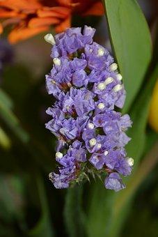 Beach Lilac, Blossom, Bloom, Violet, Trockenblume