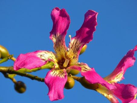 Kapok Tree, Ceiba Pentandra, Pochote, Blossom, Bloom