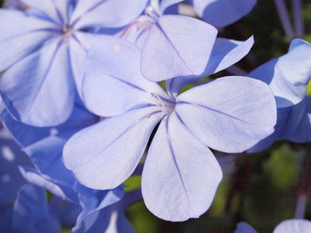 Auriculata, Plumbago, Blossom, Bloom, Blue, Garden