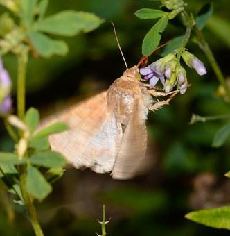 Lepidoptera, Butterfly, Helicoverpa, Armigera