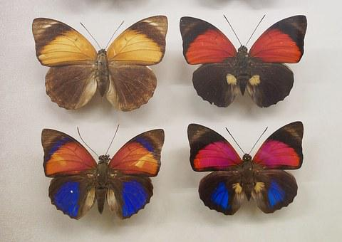 Butterfly, Insect, Nature, Butterfly Museum