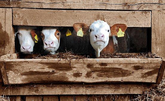 Class President, Cow, Cows, Calf, Calves, Cheekily