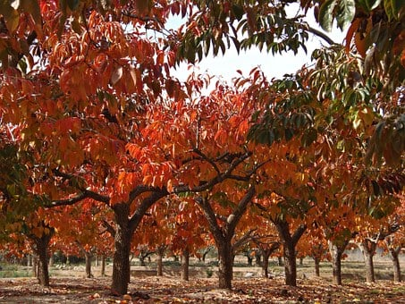 Persimmons, Fruit Tree, Deciduous, Fall Color, Colors