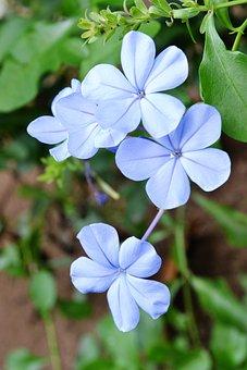 Flowers, Flower, Blue Flower, Plant, Sri Lanka