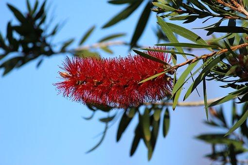 Calliandra Haematocephala, Flower, Red, Nature, Garden