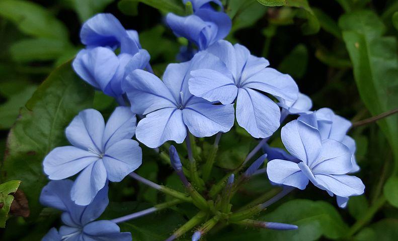 Plumbago, Blue Plumbago, Blue-plumbago, Flowers