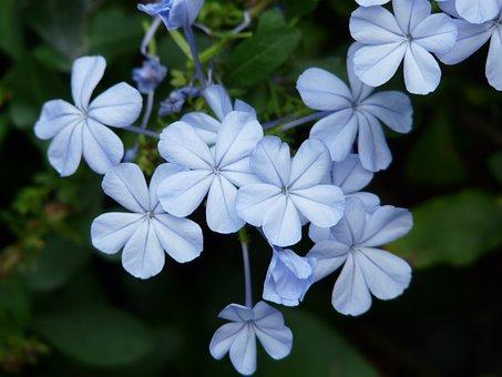 Flowers, Flower, Light Blue, Cape Europaea