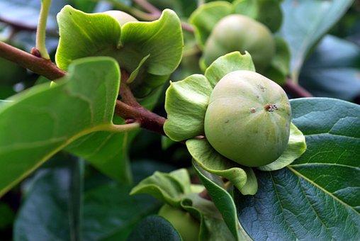 Persimmon, Fruit, Tree, Grow, Food, Healthy, Fresh