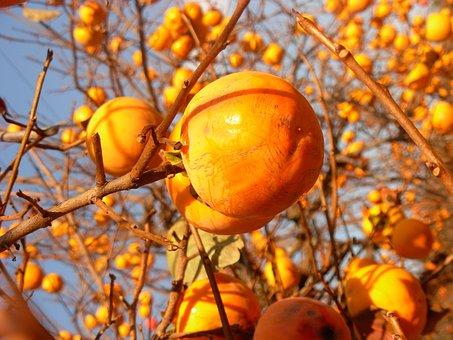 Persimmon, Fruits, Orange, Ripe, Tree, Healthy, Fresh