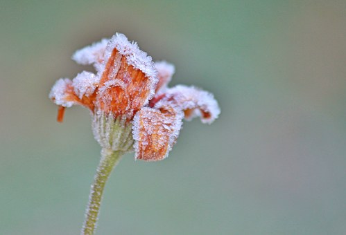 Rose, Blossom, Bloom, Flower, Frost, Hoarfrost, Icy