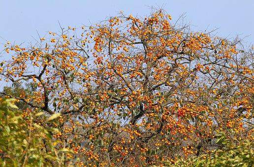 Natural, Fruit Trees, Persimmon, Orange, Orange Fruit