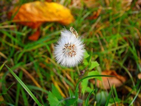 Dandelion, Green, Dandelions, Grass, Plant, Fluff