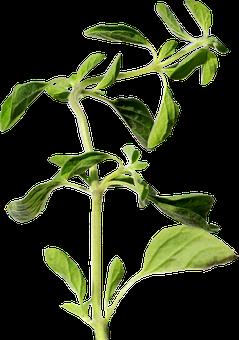 Oregano, Herb, Green