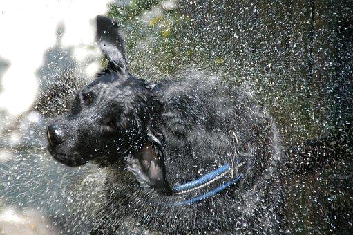 Labrador-flat, Hybrid, Laundry Day, Water, Shake